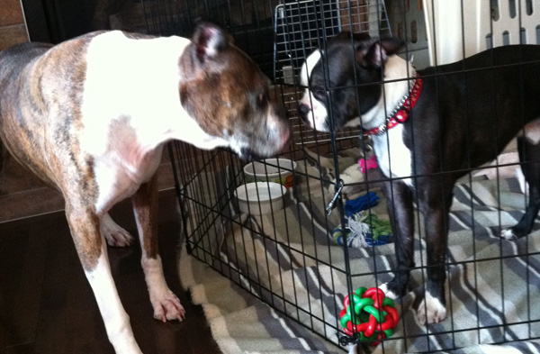 The 2 Week Shutdown – How to introduce a new foster dog to your home