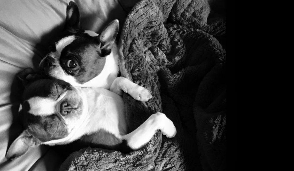 HOME - Boston Terrier Rescue Canada