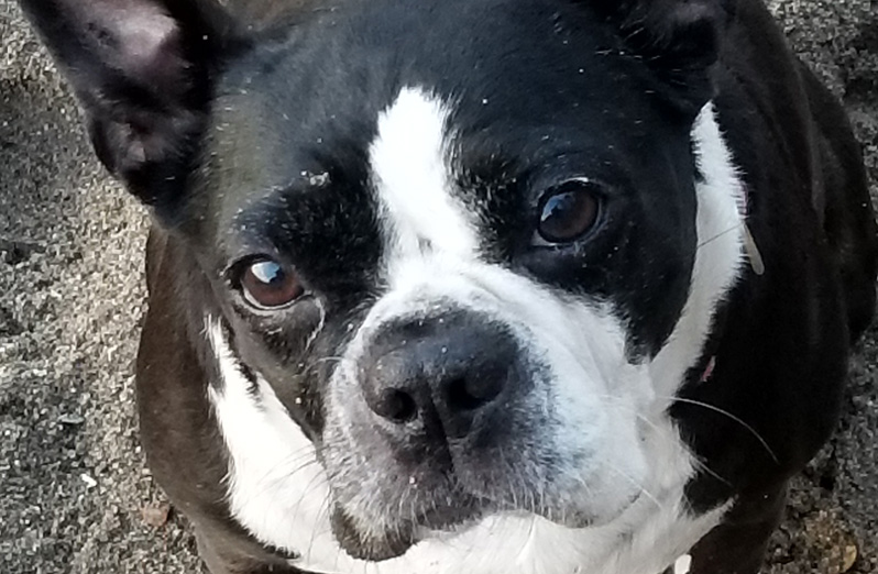 Fabuleux HOME - Boston Terrier Rescue Canada OD67