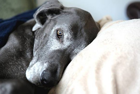 Cognition and Anxiety Issues in Senior Dogs